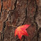 Red Maple on Tree Bark by Lisa G. Putman
