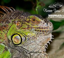 Male Iguana by Jamie Cameron