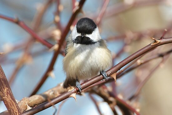 Chickadee6 by William Brennan