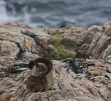 Hyrax Family Hermanus by id4jd