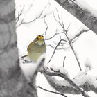 Goldfinch in Winter iPhone Case by Annlynn Ward