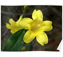 Carolina Jasmine-Single Bloom Wild Poster