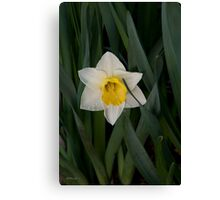Daffodil Tears Canvas Print