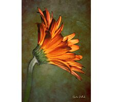 Daisy on an Antique Wall Photographic Print