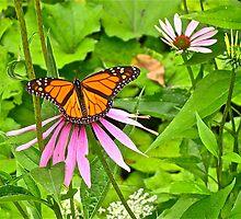 Monarch butterfly 2 by Carolyn Clark