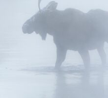 Bull Moose in Winter Steam by cavaroc