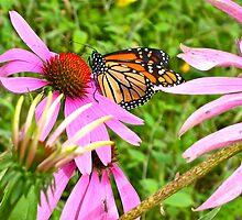 Monarch butterfly by Carolyn Clark