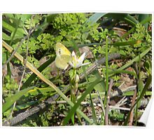 Tiny Butterfly on Tiny Flowers Poster