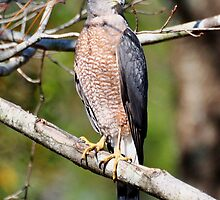 Coopers Hawk In A Tree by Kathy Baccari