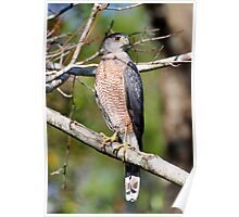 Coopers Hawk In A Tree Poster
