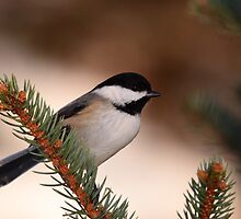 Black-Capped Chickadee II by naturalnomad