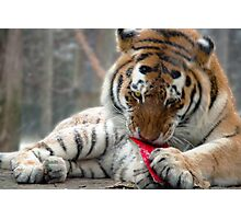 Tiger mail Photographic Print