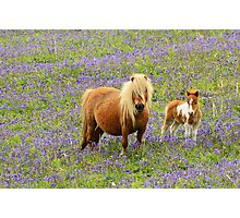 Shetland pony and Foal Photographic Print