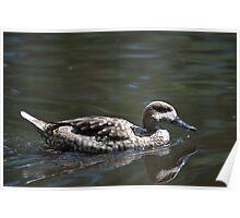 Mallard Duck Female Swimming Poster