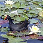 Dusky Moorhen - Cobaki Lake, Tweed, NSW by Bev Pascoe
