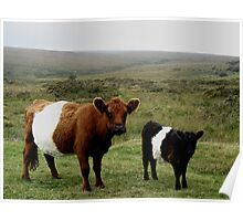 Belted Galloway Cow And Calf  At Sherberton On Dartmoor Poster