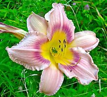 Daylily and grasshopper by Carolyn Clark