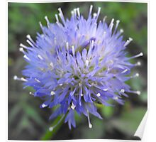 Sheppards Scabiosa Poster