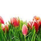 Tulips pink.  by larisa  fedotova