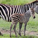 Baby Stripes  by tracyleephoto