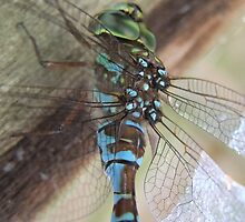 Beauty On Wing by Tracy Faught