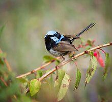 Blue Wren by pcbermagui