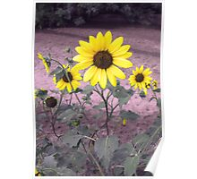 Yellow Sunflowers in the Field Poster