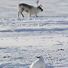Svalbard ptarmigan and reindeer in Adventdalen by Algot Kristoffer Peterson