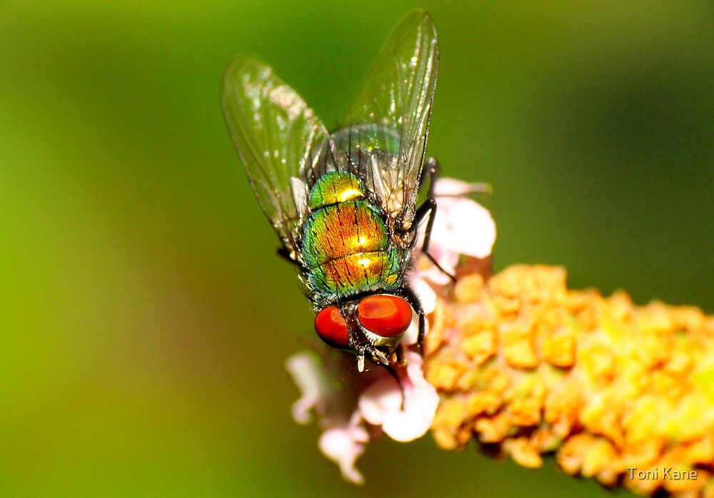 Fly on Flower by Toni Kane