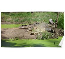 Crocodile Sunbaking Poster