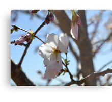 Baby Pink Cherry Blossoms Metal Print