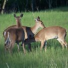 White-tail Deer by James Brotherton