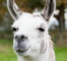 White and grey llama by elainejhillson