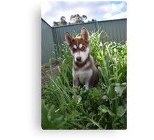 Jax-husky/malamute puppy Canvas Print