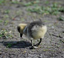 Hungry Duckling by Pete  Burton