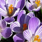 Crocus Celebration by AngieDavies
