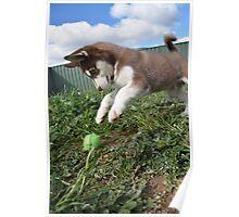 Jax-husky/malamute puppy playing  Poster