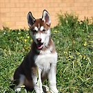 Jax- Cute husky malamute puppy by Russell Voigt