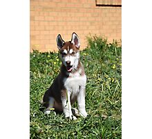 Jax- Cute husky malamute puppy Photographic Print