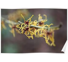 Yellow Witch Hazel Poster