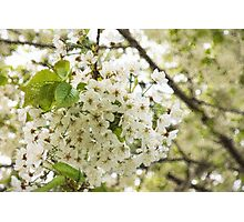 Dreamy White Blossoms - Impressions Of Spring Photographic Print