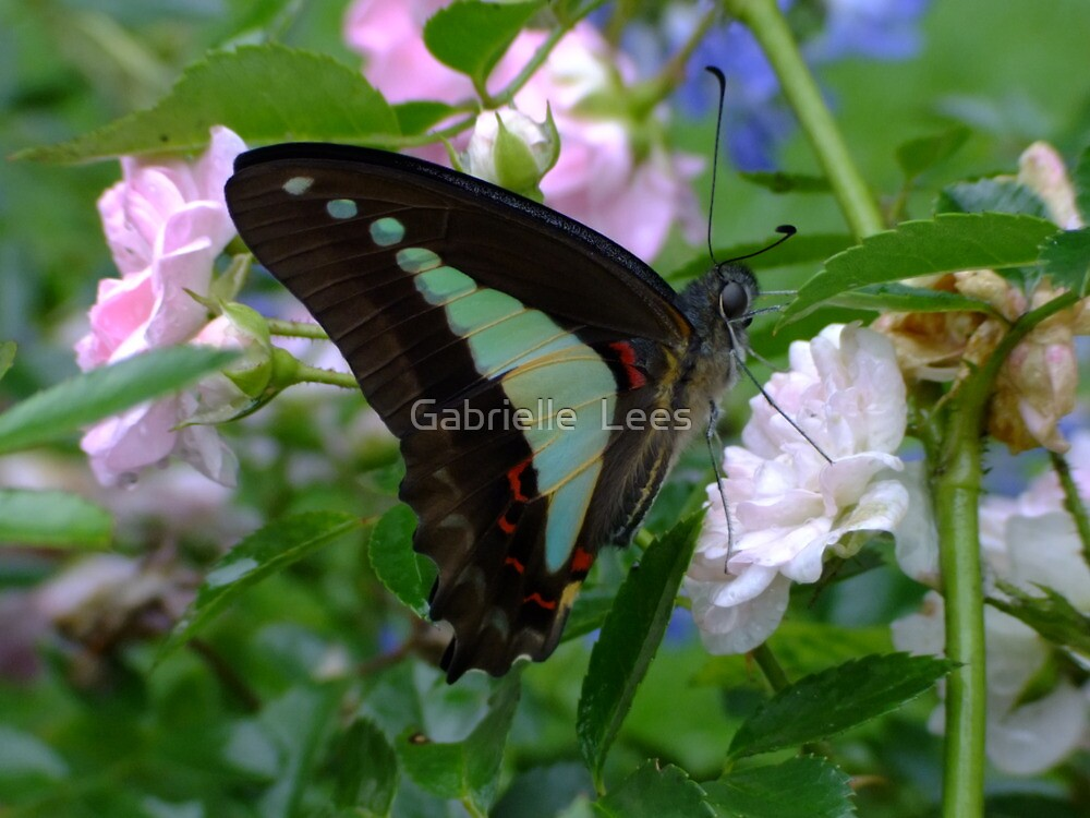 Blue Triangle Butterfly by Gabrielle  Lees
