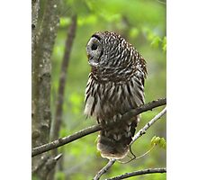 Barred Owl looking for dinner Photographic Print
