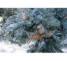 Mother Nature's Christmas Decorations - Pine Cones Photographic Print