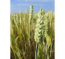 Ripening wheat Photographic Print