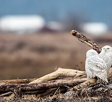 Ostracized Owl by Jim Stiles