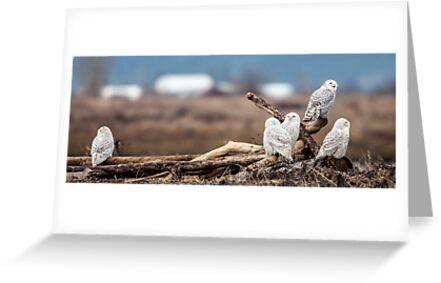 Ostracized Owl by Jim Stiles