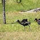 Glossy Black Ibis by Rosalie Scanlon