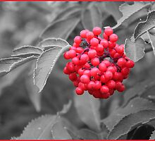 A Touch Of Elderberry by Sandra Foster