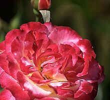 Happy Rose by Joy Watson